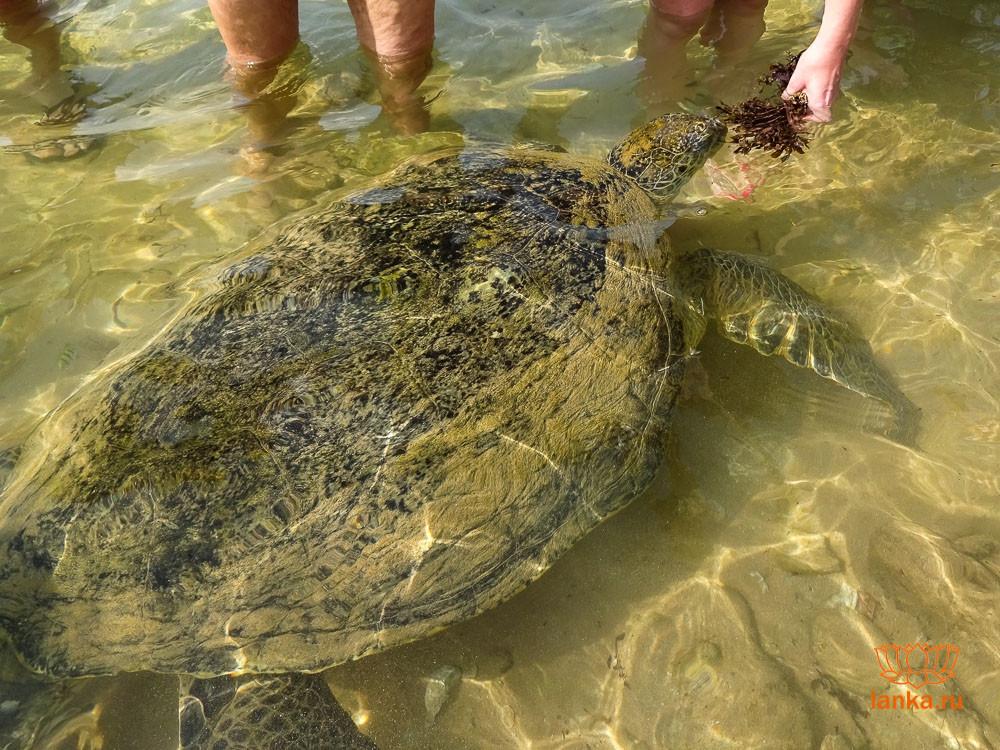 Кормление черепах в Хиккадуве