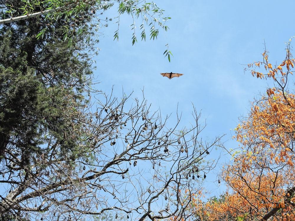 Сад Перадения и летучая лисица