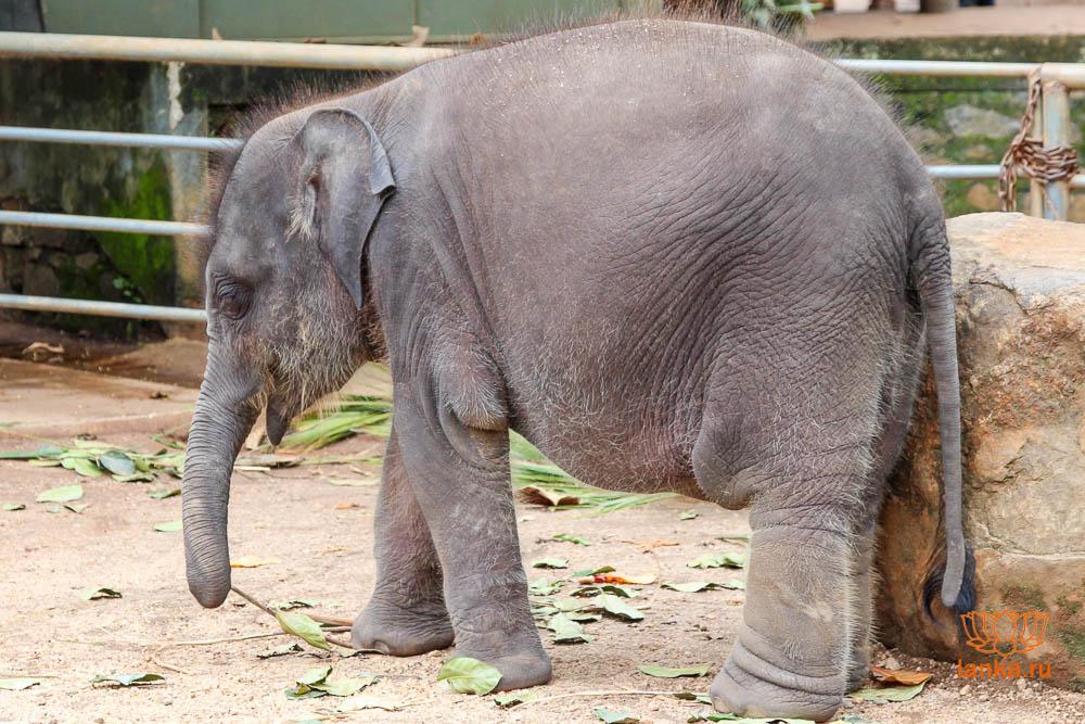 Слоненок в питомнике Пиннавела