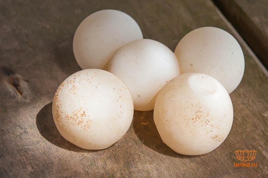 Черепашьи яйца
