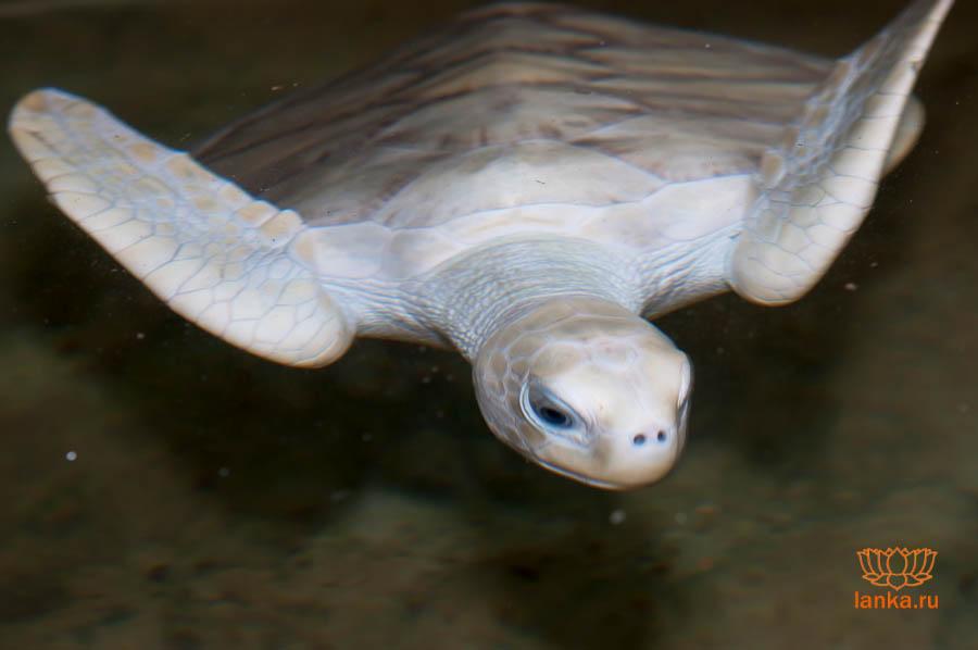 Морская черепаха-альбинос