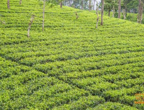 Россия ограничит поставки чая из Шри-Ланки