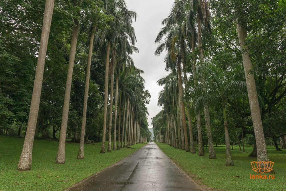 Пальмовая аллея. Сад Перадения