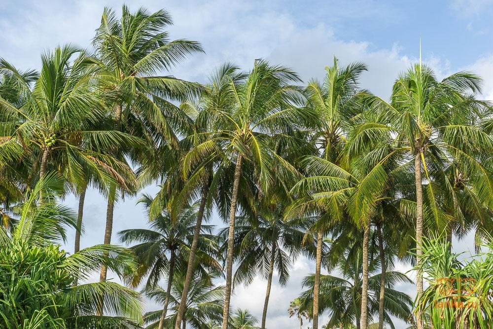 Пальмы на пляже Бентота