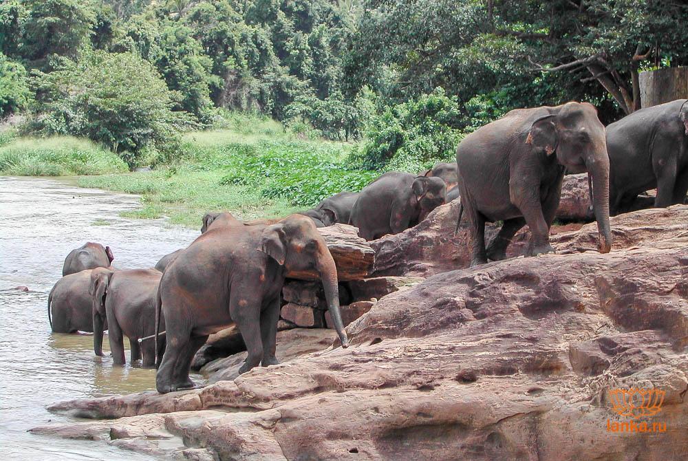 Купание слонов в реке