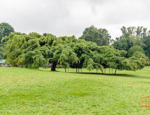 Новое видео: ботанический сад Перадения