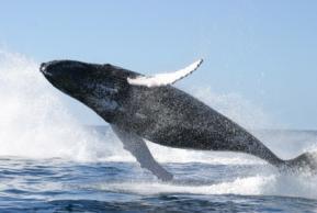 SriLankan Airlines запускает проект по сохранению китов и дельфинов