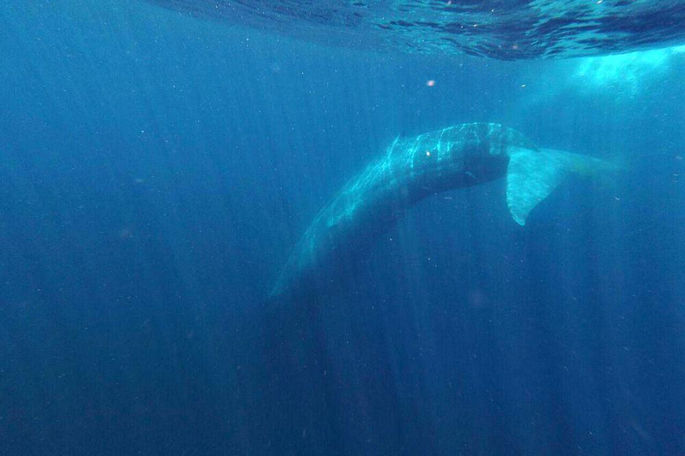 Снорклинг с китами. Автор Artem Pronkin.